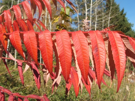 sumac turned red