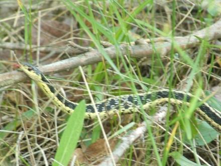 gartner snake with bulge