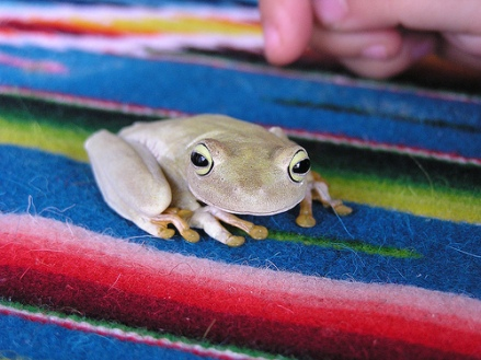 peruvian frog