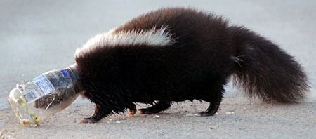 skunk with head in jar